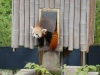 Red Panda Named Sunny Missing From Virginia Zoo | ABC News | January 25, 2017